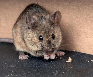 Lağım faresi