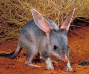 Kanguru Faresi